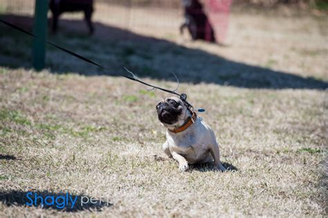 pug rescue philadelphia dfw pug rescue pugapalooza 2013 187 shagly photography