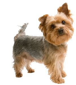 my yorkie is shaking about yorkie health tips yorkie puppies for sale teacup dogs moringa for dogs