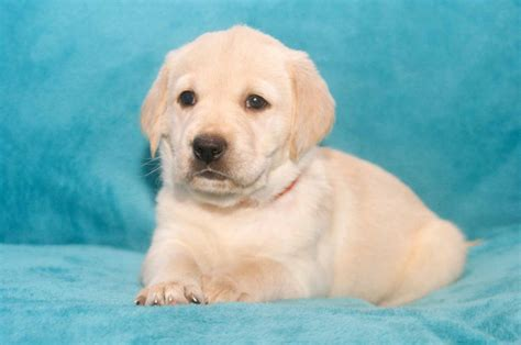 golden retriever mix puppies rescue ready for adoption shepherd golden retriever mixed medium breeds picture