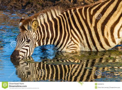 what color is a zebra zebra alert mirror colors stock image image