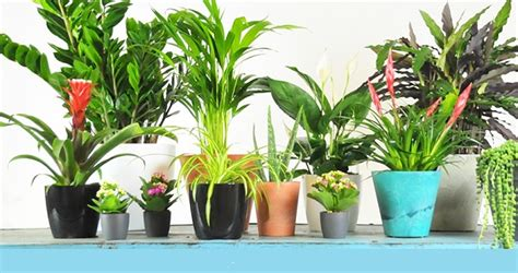air purifying plants  indoor outdoor