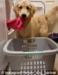 best dryer for golden retrievers of harlow the clever golden retriever taking clothes out of a tumble dryer
