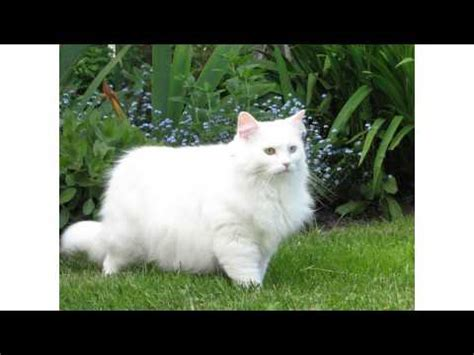 white fluffy breeds all white cat breeds funnycat tv