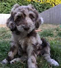Aussiedoodles on pinterest australian shepherd puppys and poodles
