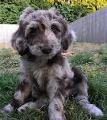 doodle treasures puppy mill 1000 images about aussiedoodles on blue merle