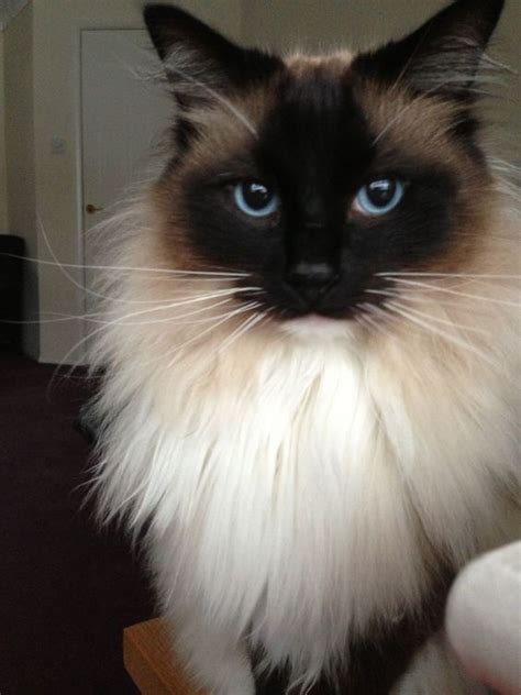 rag doll for sale beautiful pedigree ragdoll cat for sale bishops