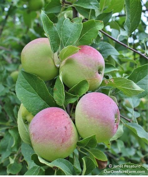 pesticides for fruit trees how to grow apples without pesticides