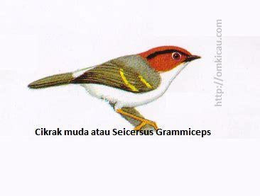 Pita Garis Salurgrossgrain 6mm Kuning Terang ciblek gunung burung terfavorit di antara suku pengicau page 2 of 4 klub burung