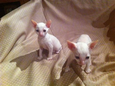 cornish rex resimleri pin cornish rex kitten for sale on pinterest