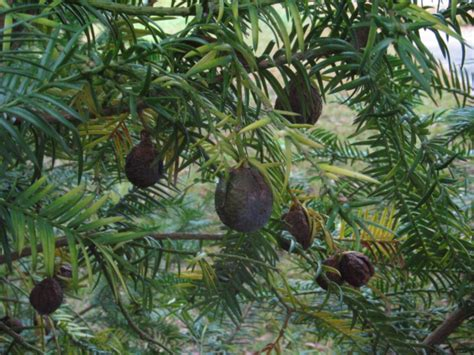 nc fruit trees torreya taxifolia trees in clinton and mt olive