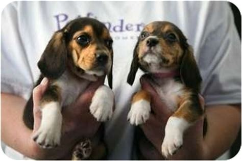 basset hound puppies ny ears beagle basset pups adopted puppy salamanca ny beagle basset hound mix