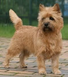 cairn terrier show cut canadian professional pet stylists the only federally