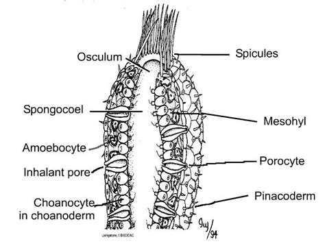 diagram of sponge overview of sponges