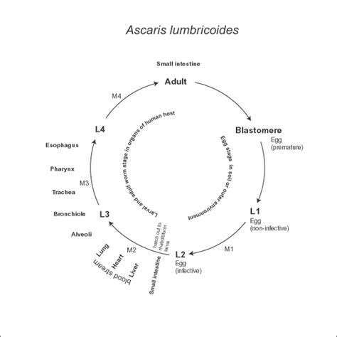 labelled diagram of ascaris asovislan labeled earthworm diagram