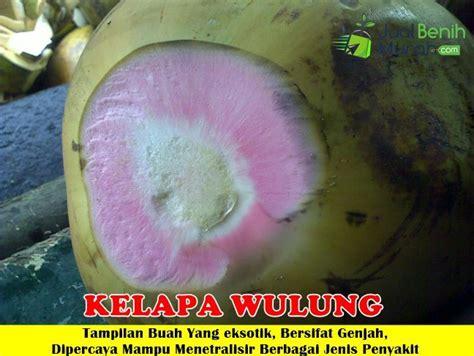 Bibit Kelapa Hijau Wulung bibit kelapa wulung 70cm jualbenihmurah