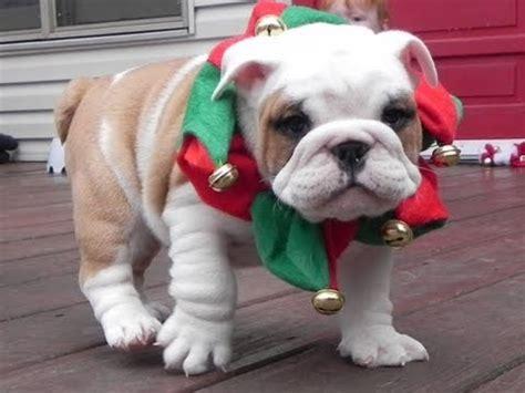 american bulldog pug puppies bulldog pug vs american bulldog bulldog
