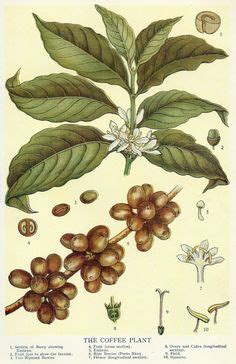 1000  images about Coffee!! on Pinterest   Coffee plant, Coffea arabica and Vintage coffee