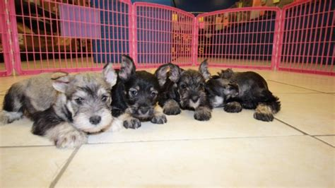 puppies for sale in ga eye catching black silver miniature schnauzer puppies for sale in ga at puppies