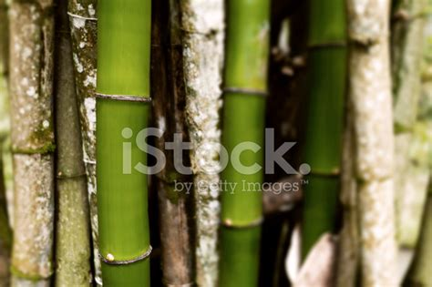 section of bamboo trees grouped together background stock