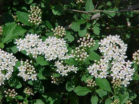10 best plants for a shade garden with shrubs - Shrub With Small White Flowers In