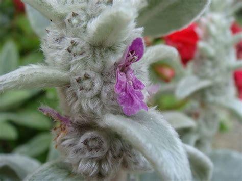 piante particolari da giardino piante particolari dai toni metallici giardinaggio