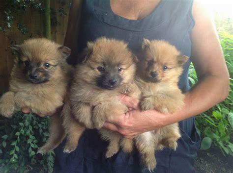 arizona pomeranian breeders pomeranian puppies breeders puppies puppy