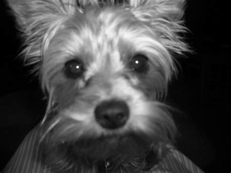black white yorkie 17 best images about black white yorkie world on friend photos