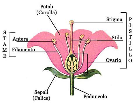 il fiore e la riproduzione calice dei fiori come 232 fatto e a cosa serve
