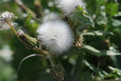 seed of the week spiny sowthistle growing with science blog
