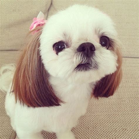 what s the lifespan of a shih tzu meet iriko a 1 year shih tzu and chihuahua mix with the cutest animals on