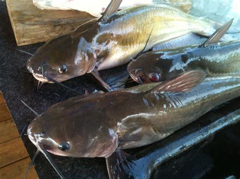 Cat The Fish by How To Fish For Catfish In Louisiana Louisiana Travel