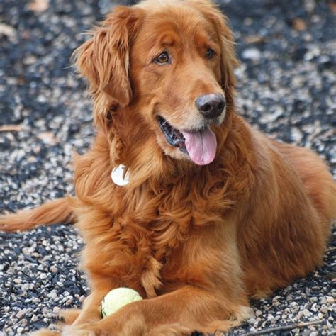 golden retriever rescue dc 66 best images about senior dumped by loser owners who need adopted on