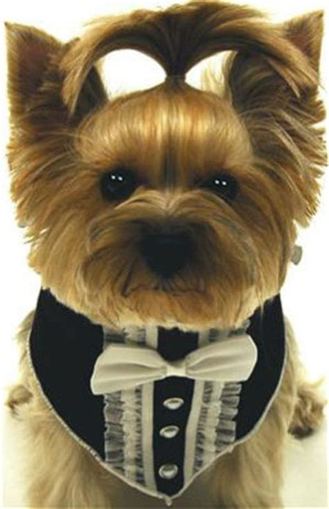 tuxedo for yorkie the well dressed at a wedding trend setting elegance for grooms