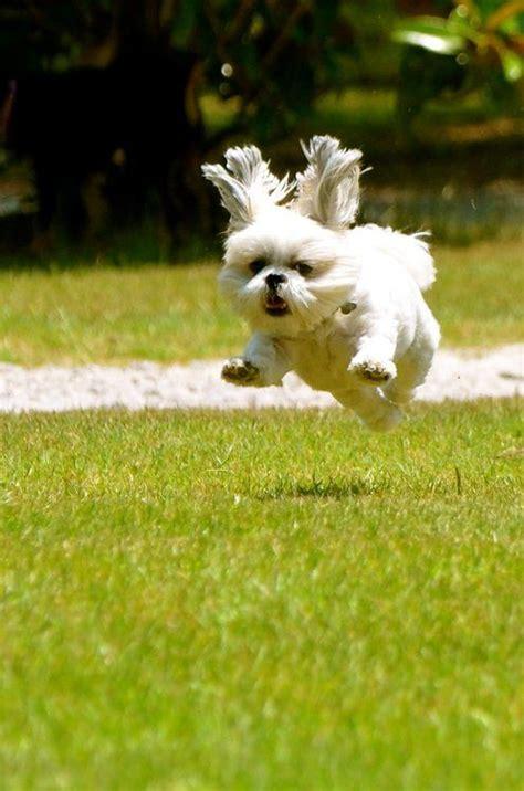 how fast can a shih tzu run running shih tzu running shih tzu coming your way gracie lu shih tzu running shih