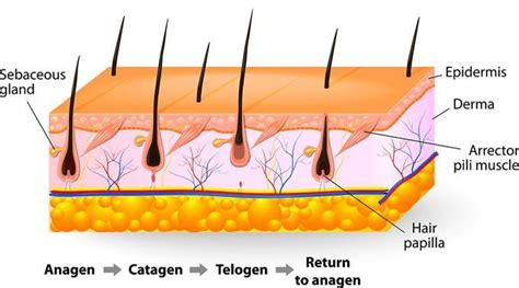 various stages of growing hair from short into a bob style why does it take multiple sessions for laser hair removal