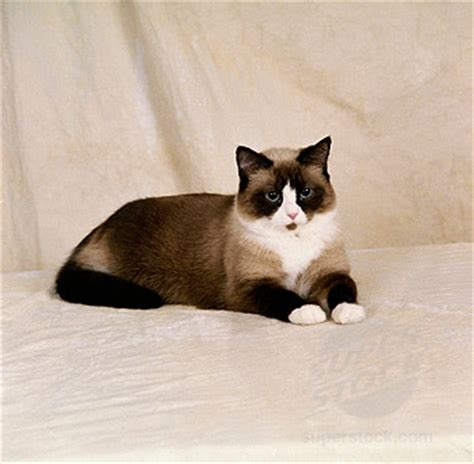 snow shoe snowshoe cat animals wiki pictures stories
