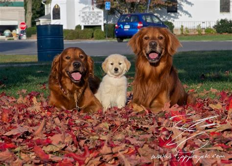 purebred golden retriever health problems how to find a golden retriever tippykayak photography