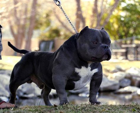 bully pitbull puppies how to become a sucessful american bully pit bull breeder part 1