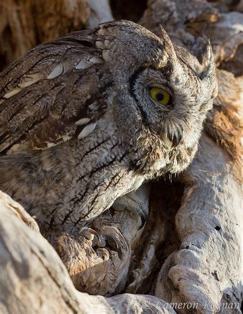 owl in backyard western screech owl owls pinterest