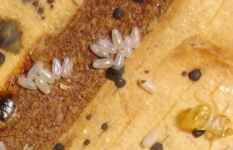 bed bug eggs in hair bed bug eggs in hair www pixshark com images galleries