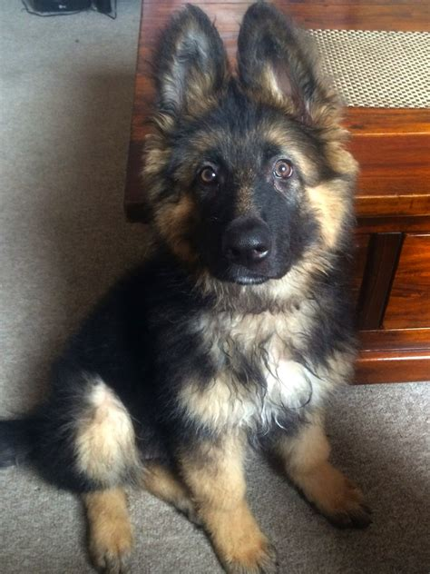 haired black and german shepherd puppies for sale haired german shepherd puppies for sale