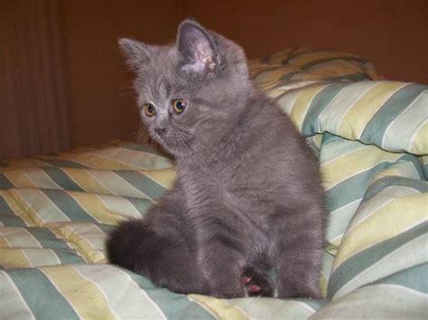 cat haircuts edmonton blue exotic shorthair