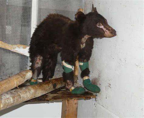 badly burned bear cub  cinder ella story methow