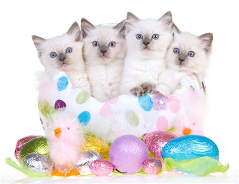 cat easter wallpaper 25 cats who are celebrating easter cattime