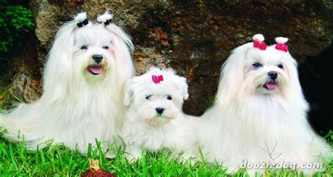 maltese in chinese martha s maltese chinese crested