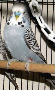 for sale grey male english show budgie vancouver canada