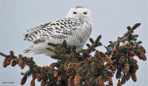 snowy owl near toronto