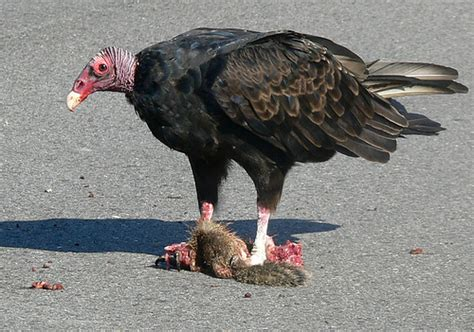 turkey vulture road kill top of the food chain when it