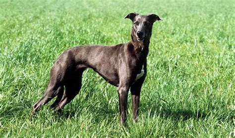 lurcher dogs lurcher breed information