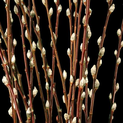 pussy willow decorative branches